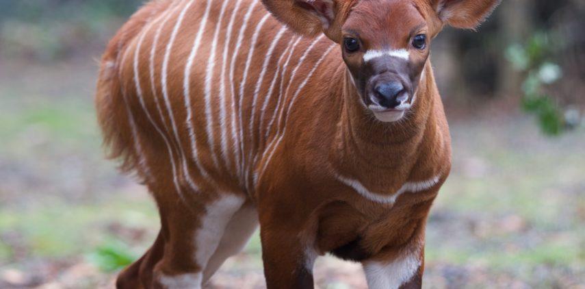 Dublin Zoo Bongo